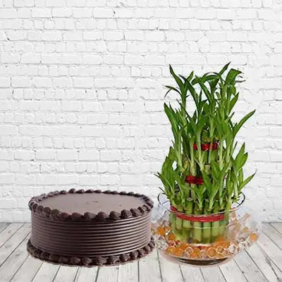 Lucky Bamboo With Chocolate Cake