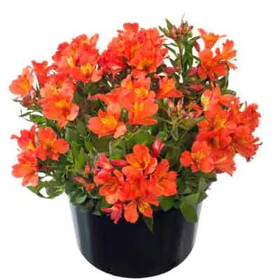 Alstroemeria Flowers Plants