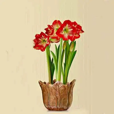 Amaryllis Flowers Plants