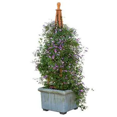 Clematis Flowers Plant