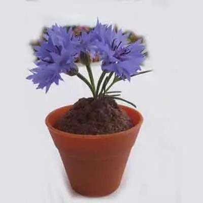 Cornflower Flowers Plant
