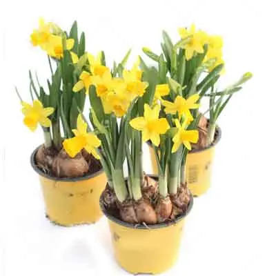 Daffodils Flowers Plant