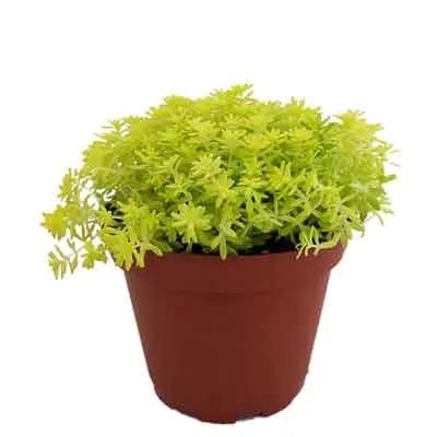 Sedum Flowers Plant
