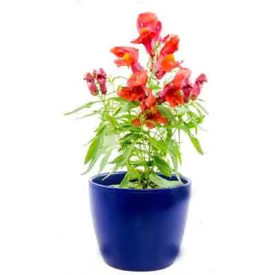 Snapdragon Flowers Plant