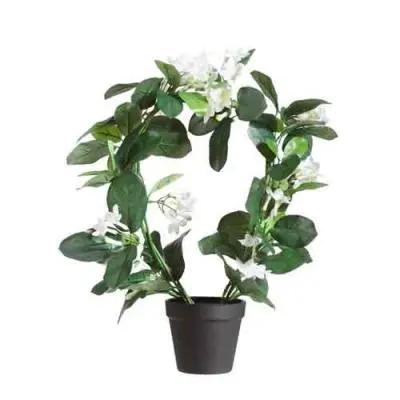 Stephanotis Flowers Plant
