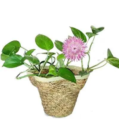 Straw Flower Plant