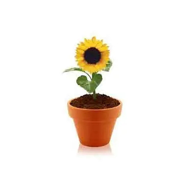 Sunflowers Plant