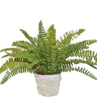 Sword Fern Flowers Plant