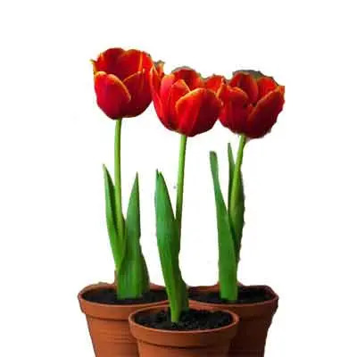 Tulips Flowers Plant