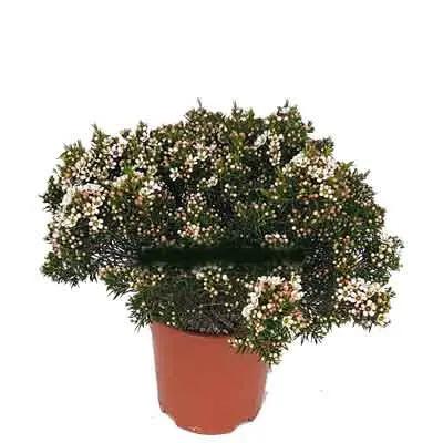 Wax Flower Plant
