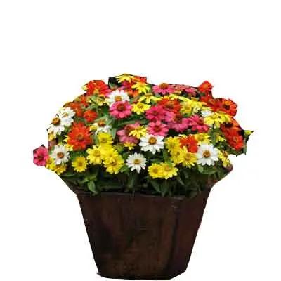 Zinnia Flower Plant