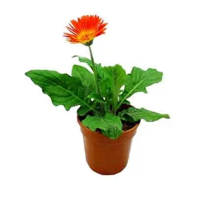 Gerberas Flowers Plant