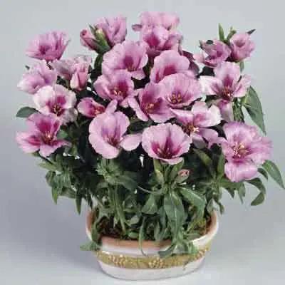 Godetias Flowers Plant