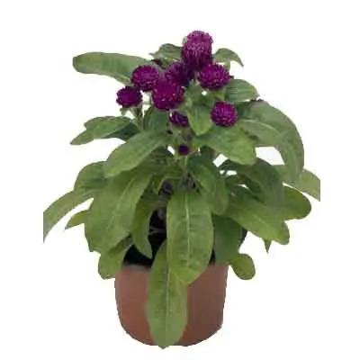Gomphrena Flowers Plant