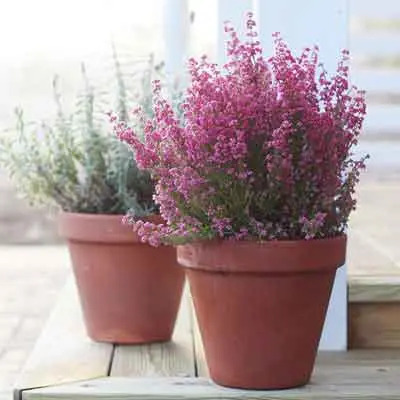 Heather Flowers Plant