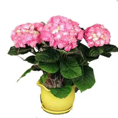 Hydrangea Petals Flowers Plant
