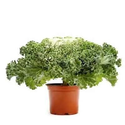 Kale Flowers Plant
