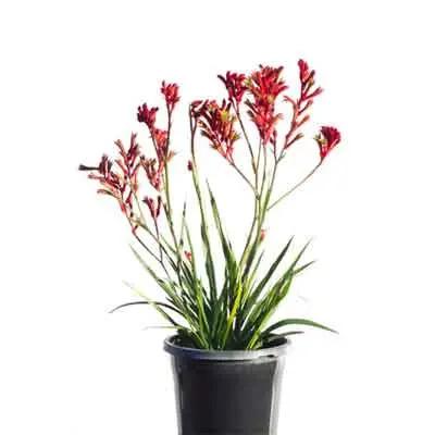 Kangaroo Paw Flowers Plant