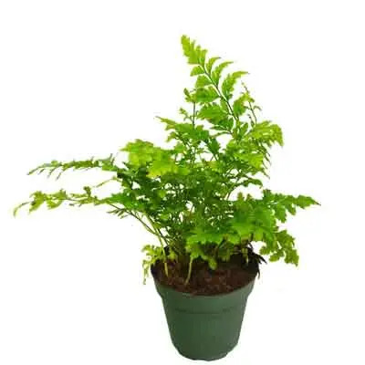 Leatherleaf Fern Flowers Plant