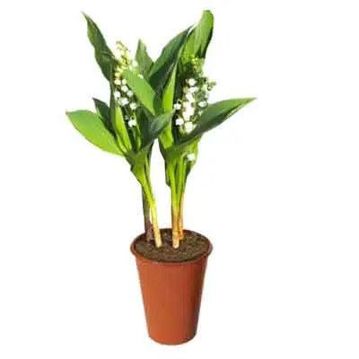 Lily of the Valley Flowers Plant