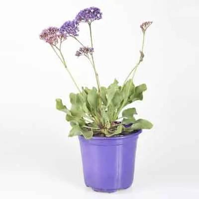 Limonium Flowers Plant