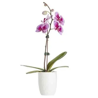 Moth Orchid Flowers Plant