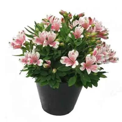 Peruvian Lilies Flowers Plant