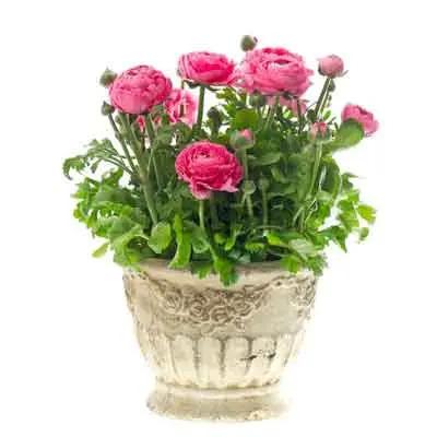 Ranunculus Flowers Plant