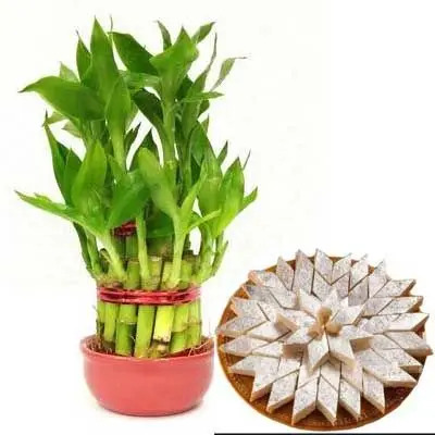 2 Layer Lucky Bamboo with Kaju Katli