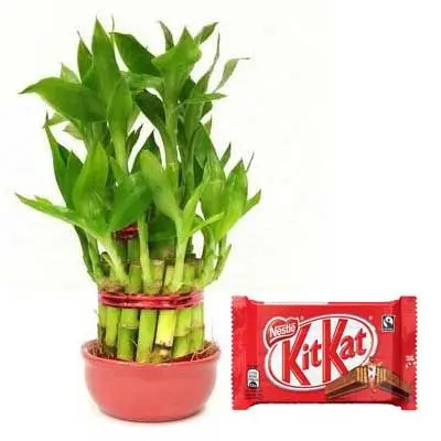 2 Layer Lucky Bamboo with Kitkat